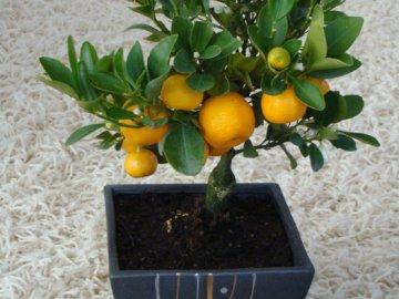 Как вырастить мандарин из косточки в домашних условиях 41