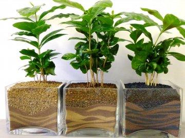 Характеристика кофе арабика