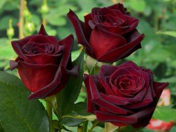 Популярные сорта садовых роз