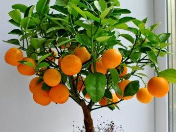Описание комнатного мандарина