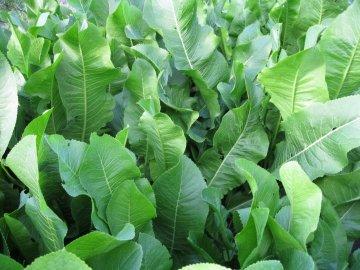 Состав и свойства листьев хрена