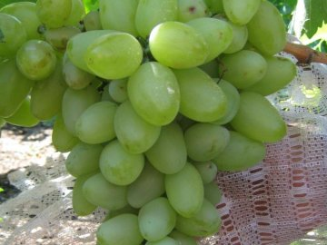 Характеристика сорта винограда бажена