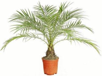 Финиковая пальма (финик)