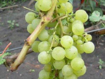 Описание сорта винограда Тукай