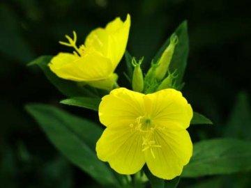 Цветок энотера посадка и уход