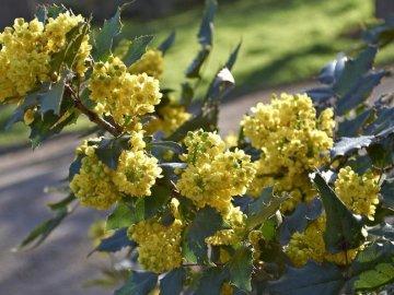 Чем полюбилась магония падуболистная садоводам?