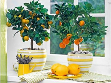 Уход за мандариновым деревом