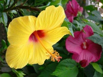 Сорта и разновидности гибискусов