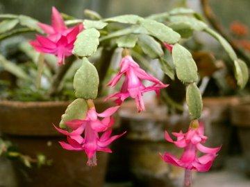 Общая информация о цветке декабрист