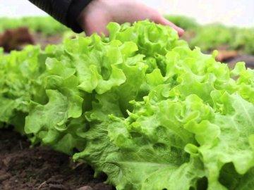 Особенности ухода за салатом