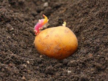 Что необходимо знать о времени посадки картофеля?