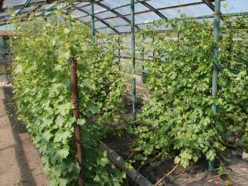 Правила ухода за тепличным виноградом
