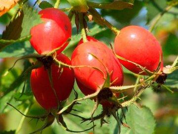 Описание шиповника и состав плодов