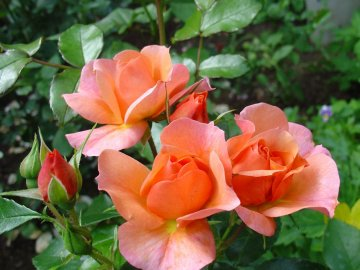 Особенности строения полиантовых роз