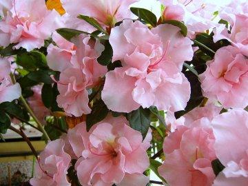 Азалия: особенности строения цветов и применение