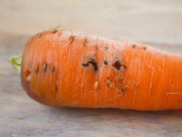 Вредители моркови, их виды