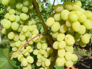 Общая информация о сорте винограда Августин