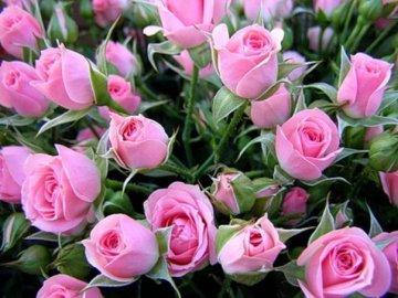 Особенности карликовых роз