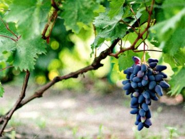 Лучшее место для выращивания винограда
