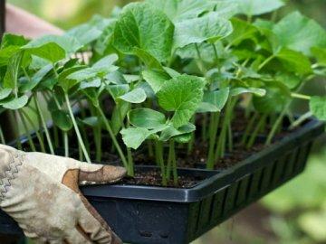 """Выращивание огурцов """"зозуля"""": рассада и ее высадка"""