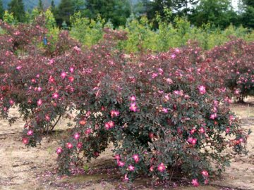 Роза сизая: описание