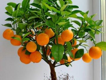 Уход за мандарином