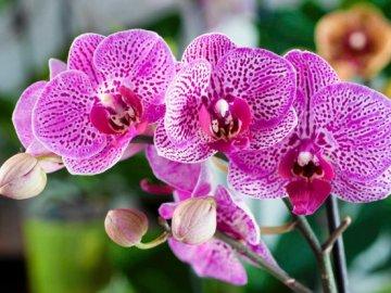 Виды и сорта орхидей для домашнего разведения