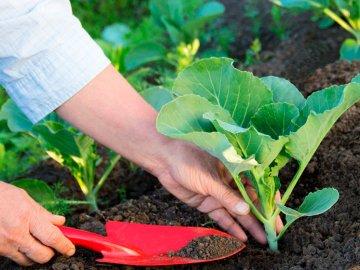 Правила и сроки высадки всходов капусты в открытый грунт