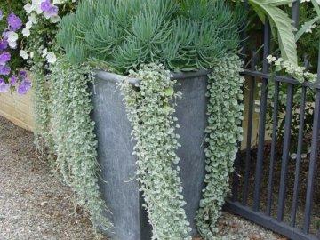Описание сортов растения