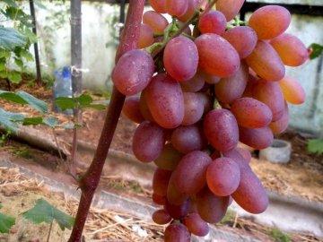Сорт винограда рута: описание и преимущества