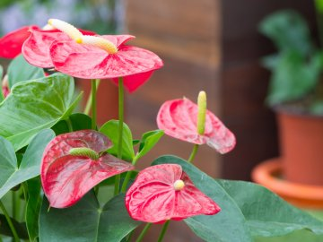 Отличительные черты цветка Антуриум