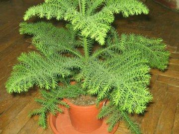 Условия выращивания араукарии в домашних условиях