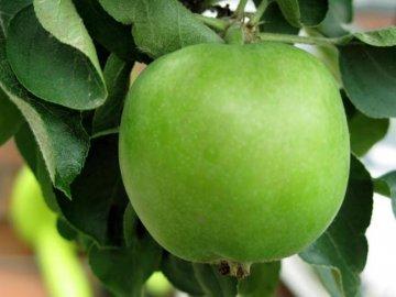 Летние сорта зеленых яблок