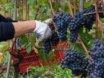 Что такое календарь виноградаря?