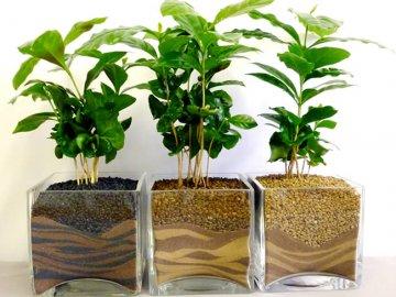 Комнатное кофейное дерево: описание