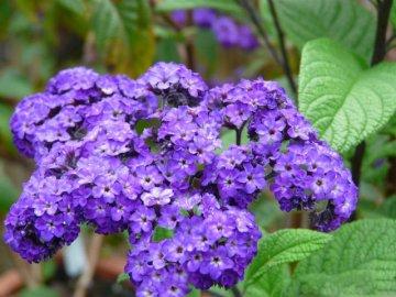 Цветок гелиотроп выращивание из семян, фото, уход и 55