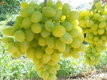 """Сорт винограда """"Аркадия"""""""