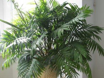 Разновидности комнатной пальмы, их описание