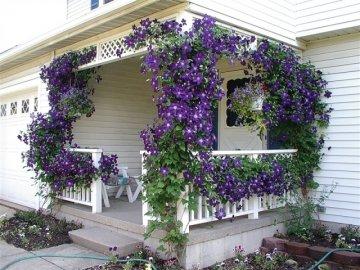 Как и где можно использовать вьющиеся растения на даче