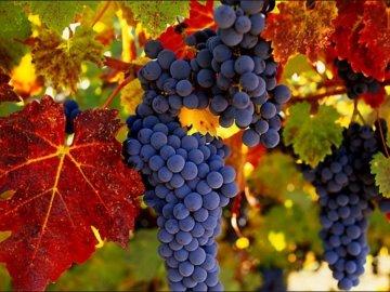 Обзор лучших сортов винограда для выращивания