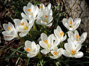 Крокусы - особенности цветов