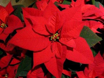 Пуансеттия: особенности цветка