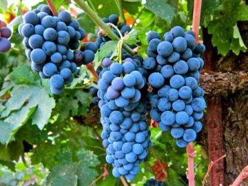Обрезка винограда: значение, преимущества процедуры