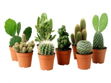 Пару слов о комнатных кактусах