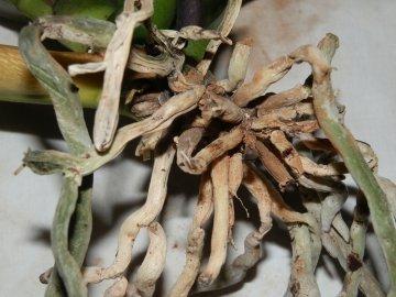 Что делать если корни засохли, как спасти растение?