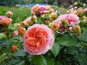 Описание и условия для выращивания цветка