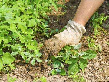 Какой вред огородным культурам от сорняков?