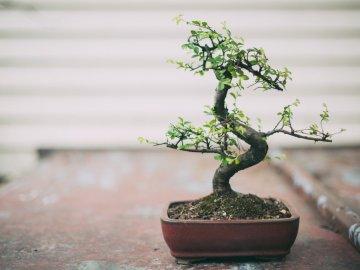 Какие растения подходят для бонсай?