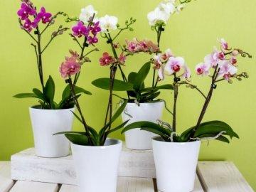 Лучшие сорта орхидей для выращивания