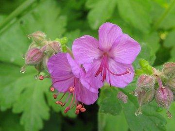 Лучшие виды и сорта садовой герани